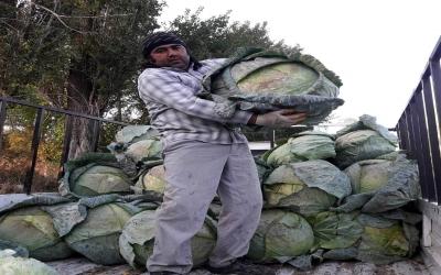 35 kiloluk lahanalar şaşkına çeviriyor