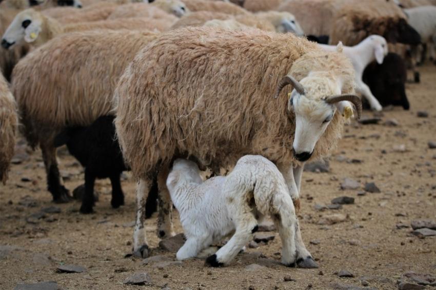 Yüzlerce kuzunun anneleriyle duygusal buluşması