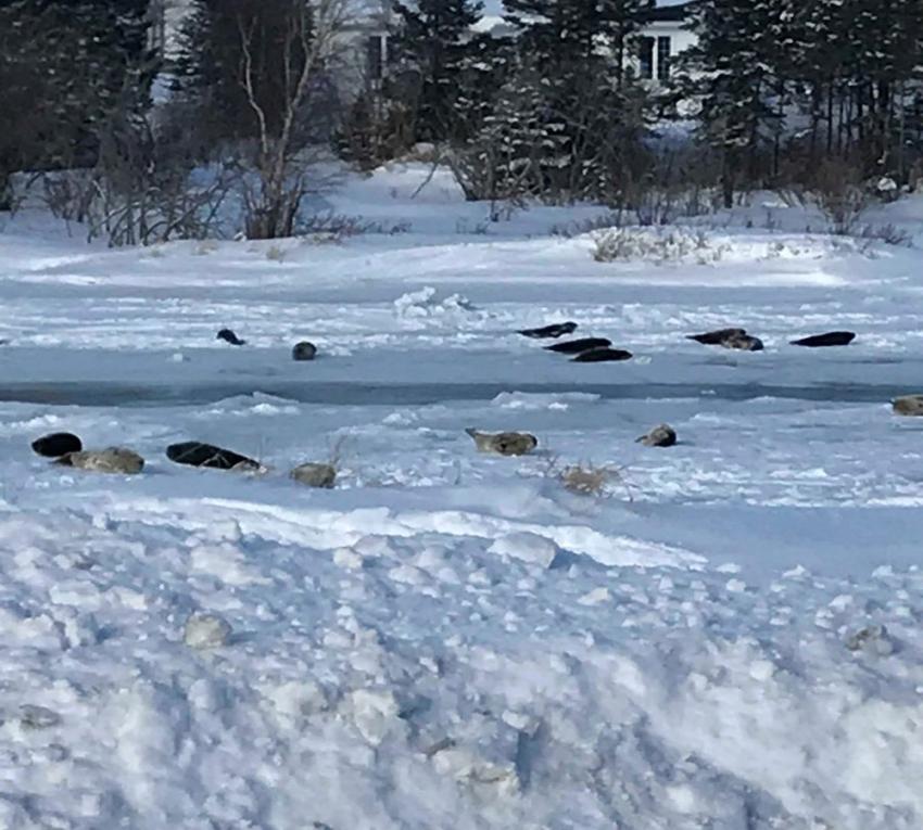 Körfeze giden sular dondu, foklar mahsur kaldı