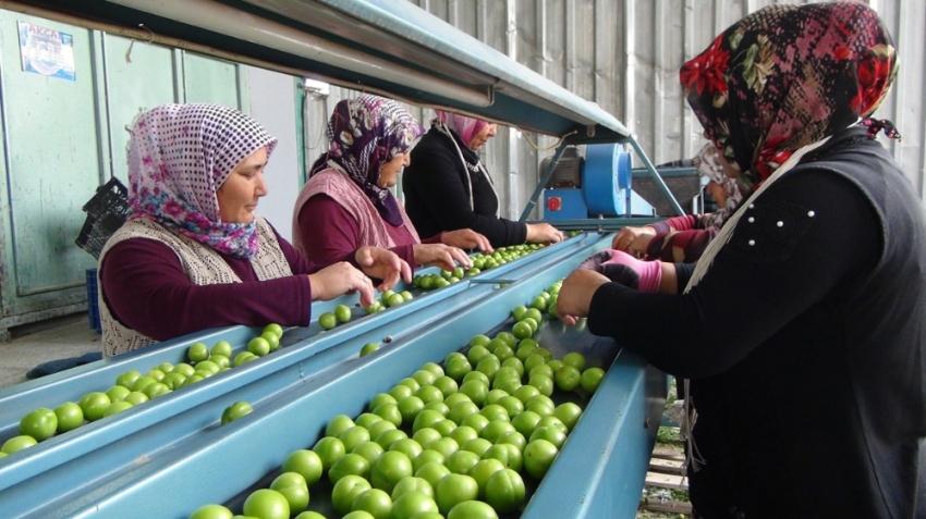 Silifke'de erik ihracatı üreticinin yüzünü güldürüyor