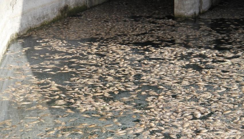 Tedirgin eden toplu balık ölümleri