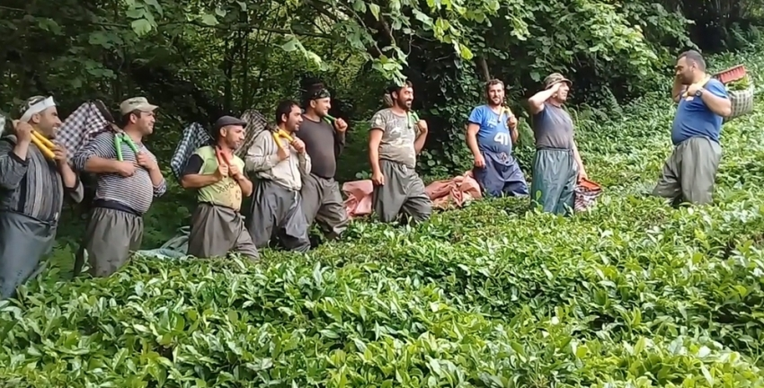Çay işçileri çay toplamayı eğlenceye dönüştürdü