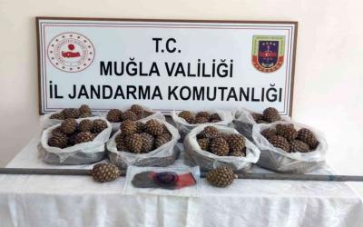 Orman Genel Müdürlüğü'nün çam fıstığı tohumları çalındı