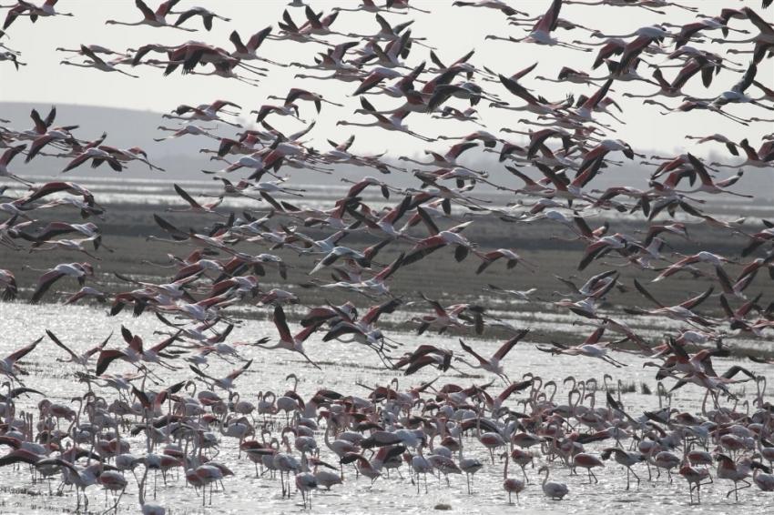 Edirne'de flamingoların dansı