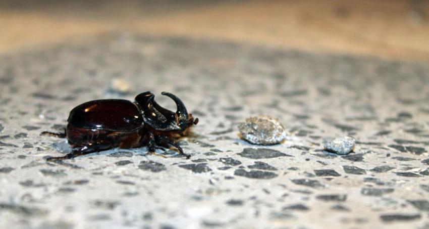 Gergedan böceği bu kez Başkent'te görüldü