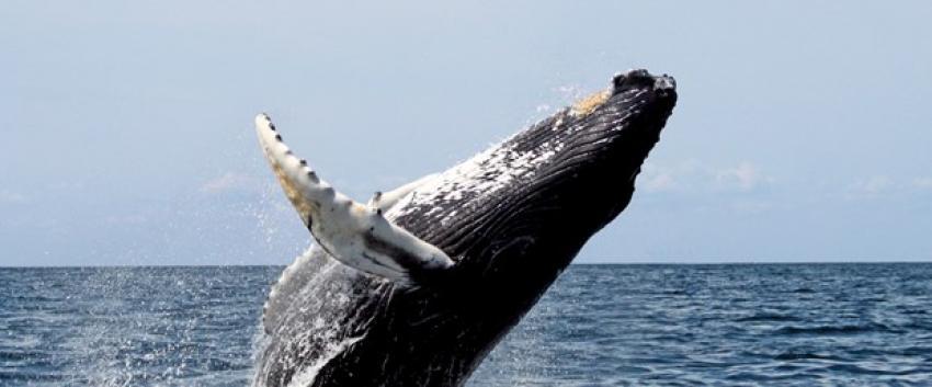 İHA'lar balina takibinde