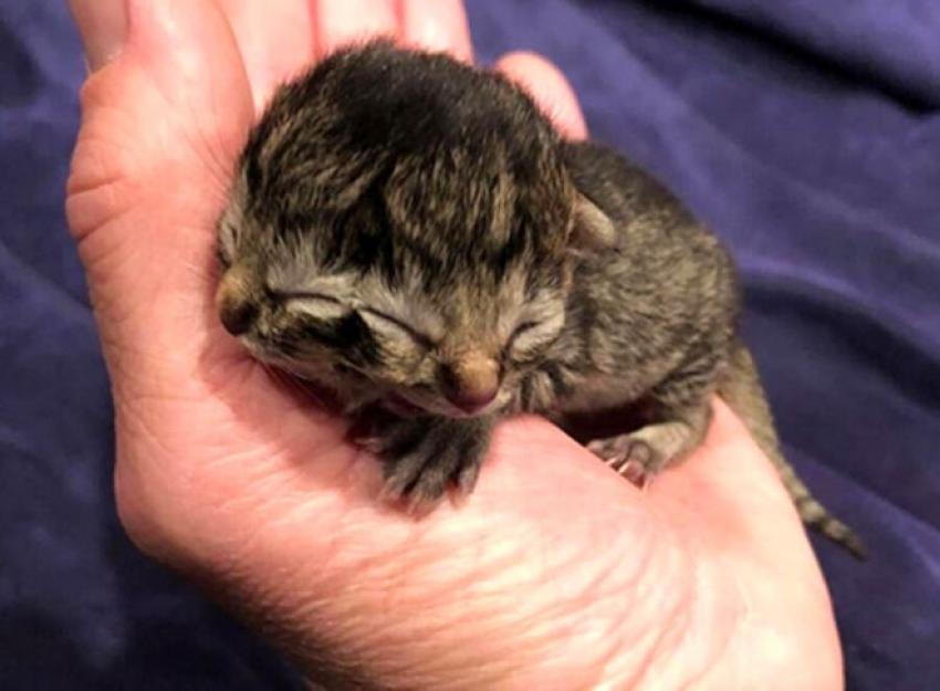 İki yüzlü kedi doğdu