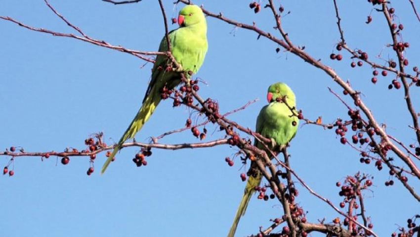 Bir kentimizi papağanlar bastı