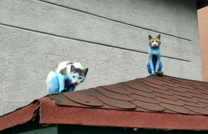 Kediler maviye boyandı
