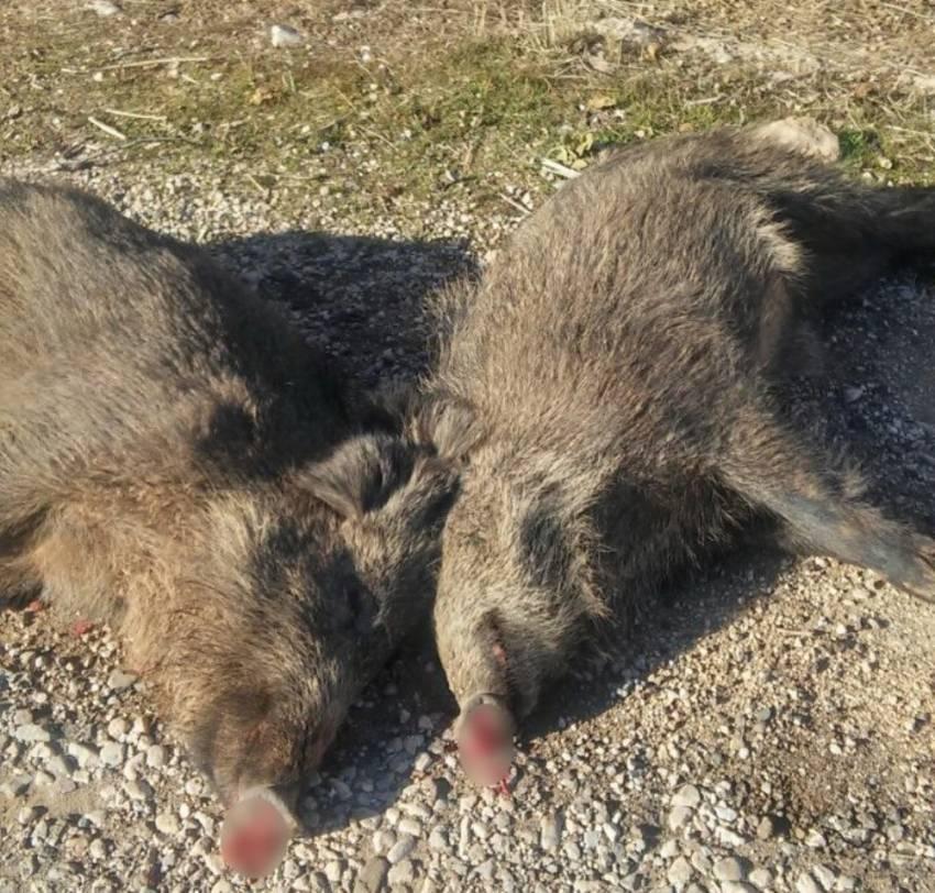 Kamyon domuz sürüsüne çarptı