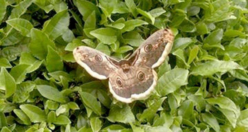 Görenleri şoke etti! Bu kelebek bambaşka