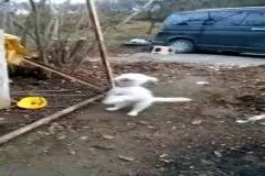 Kemençeye dayanamayan köpek