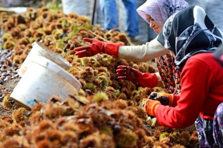 Bursa'da kestane hasadı sona erdi