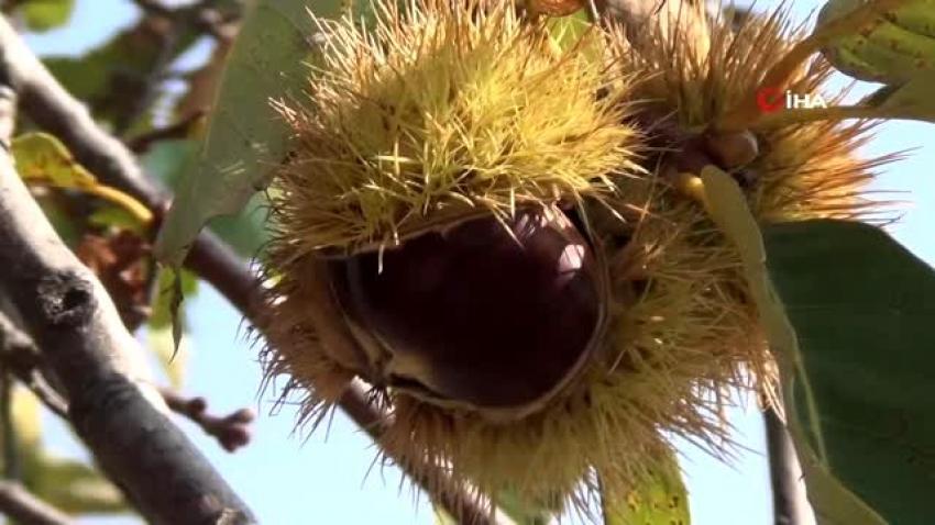 Kestane üreticisinin başı gal arısıyla dertte