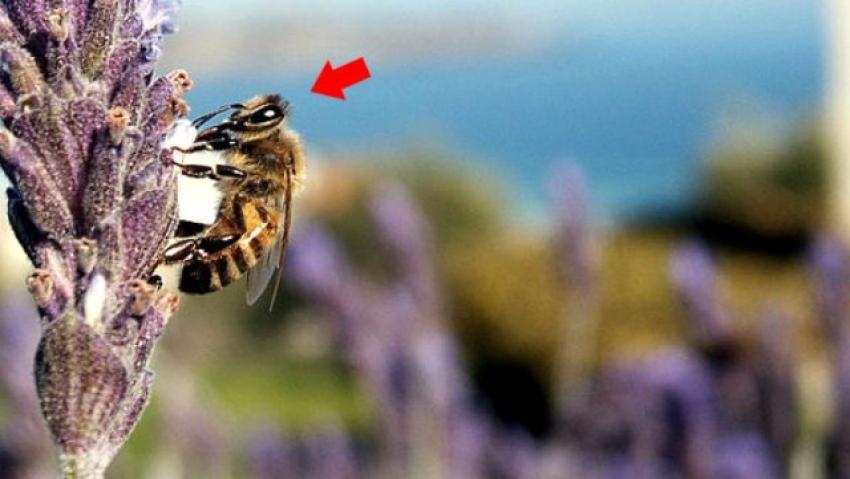 """""""Katil arı"""" paniği: İnsanları öldürebiliyor"""