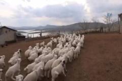 Koyun ve kuzuların renkli buluşması