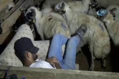 Kurbanlıklarla koyun koyuna yatıyorlar