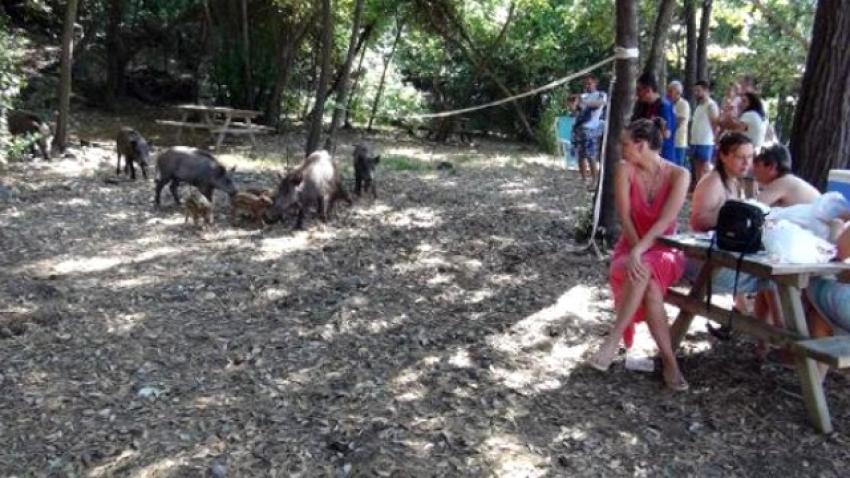 Yaban domuzları piknik alanına inince...
