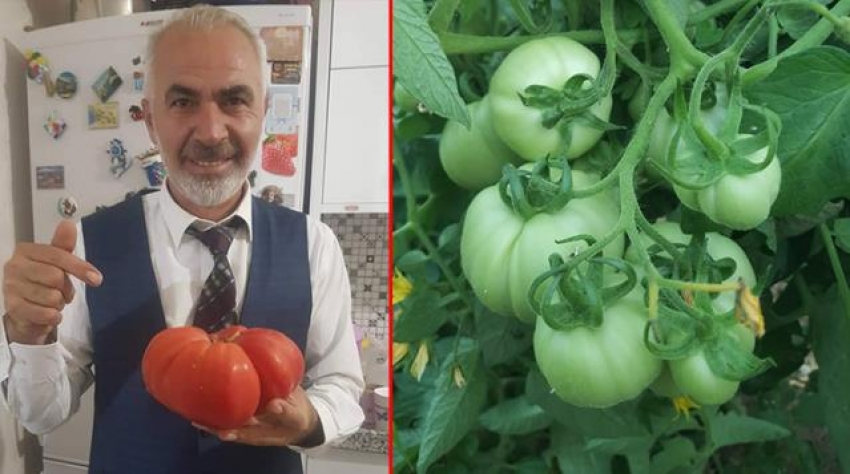 Bu domates tam 1 kilo 100 gram ağırlığında!