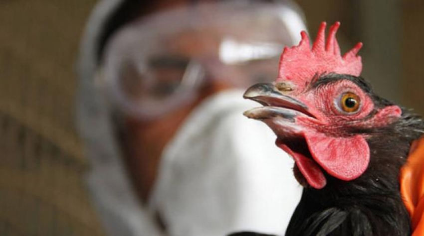 Korona ile mücadele devam ederken kuş gribi patlak verdi