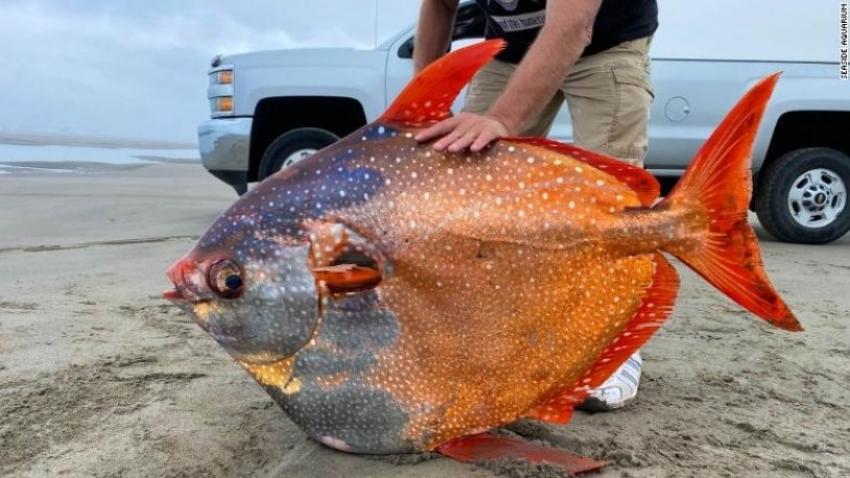 Nadir görülen gizemli Opah balığı kıyıya vurdu