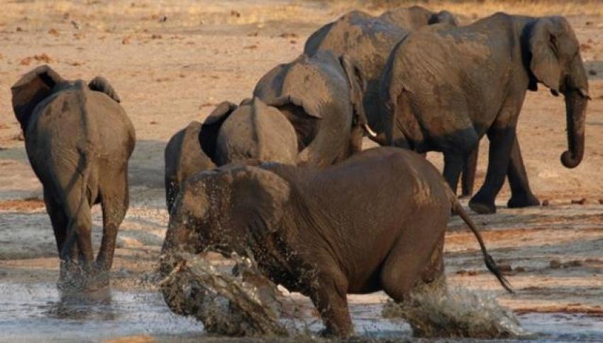 Kaçak avcı fillerin altında ezilerek öldü