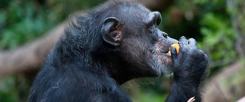 """""""Şempanzeler de alkol içiyor"""""""