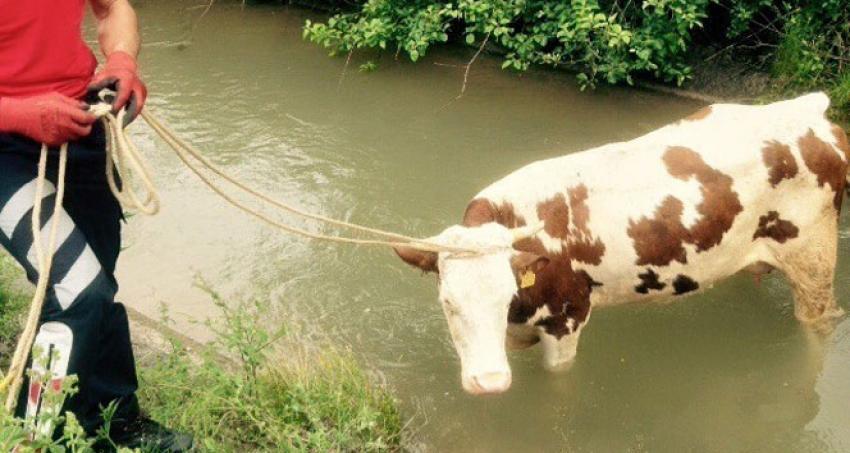 Su kanalına düşen inek bakın nasıl kurtuldu