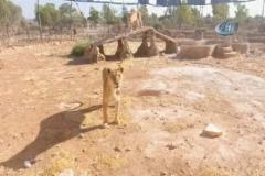 Suriye'den Türkiye'ye getirilen hayvanlar Ürdün'e nakledildi