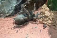 Tarantulanın Deri Değiştirme Anı