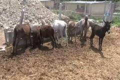 Testereli at ve eşek kasaplarına şok baskın