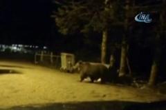 Uludağ'da aç kalan ayı ailesi yerleşime indi