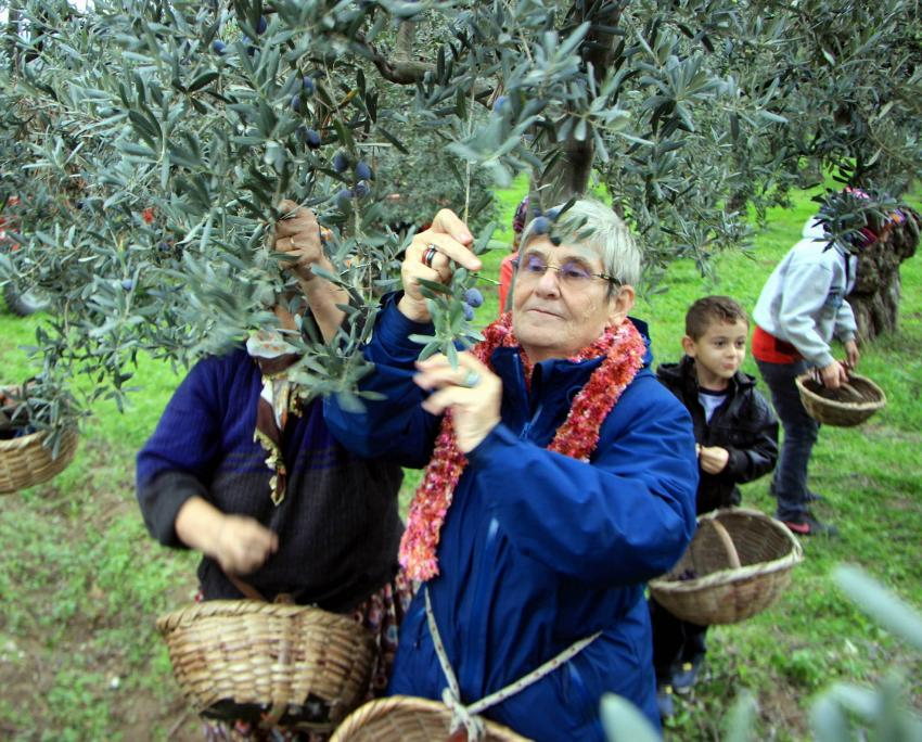 Canan Karatay zeytin topladı