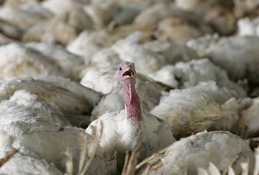 161 bin tavuk itlaf edildi