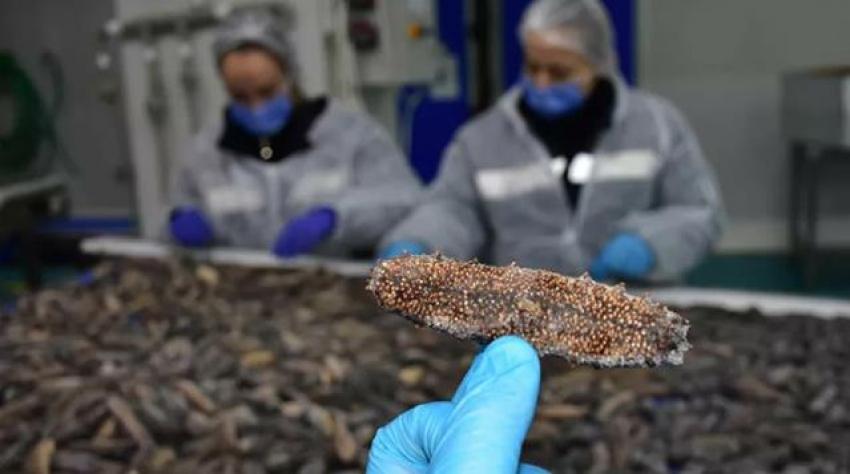 Türkiye'de tüketilmeyen deniz patlıcanı, Uzakdoğu ülkelerine ihraç ediliyor