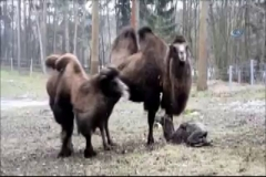 Yavru devenin ayağa kalkma mücadelesi